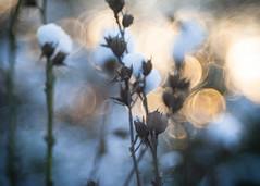 Vanished and gone (ursulamller900) Tags: diaplan28100 hibiscus mygarden seeds samenstand schnee snow winter bokeh
