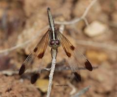 look at those eyes (Phil Arachno) Tags: vietnam cattien insecta odonata arthropoda libelle dragonfly nationalpark