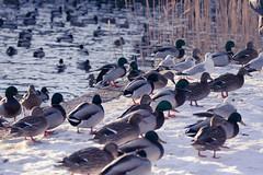 Töölönlahden Linnusto (TheSaOk) Tags: lintu linnut birdlife bird birdwatch birdlover yleluonto luontokuva wildlife