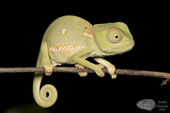 Chamaeleo dilepis - Flap neck chameleon (Imelus Umwabe) Tags: southafrica southernafrica africa frog chameleon lizard reptile amphibian animal canon5dmkiii canon macro twinflash herpetology herping fieldherping limpopo waterberg imelusumwabe