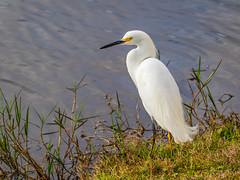 Snowy Egret (ChristineDarnell) Tags: snowyegret