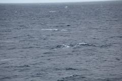 IMG_0333 (y.awanohara) Tags: humpbacks humpbackwhales whales whale southgeorgia scotiasea january2019 wildlife cetacean