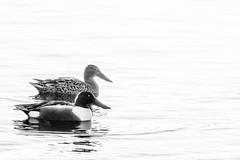 Shoveler Ducks (Dan Baillie) Tags: ducks waterfowl water wigtown birds