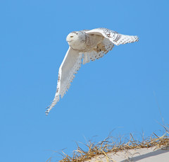 Snowy Owl (Bubo scandiacus) (Kayak Steve) Tags: buboscandiacus owl snowyowl bird birds beach wildlife predator flight newjersey nature nj