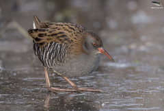 Water Rail On Ice (Mick Erwin) Tags: water rail ice nikon afs 600mm f4e fl ed vr lens tc14e teleconverter iii d850 mick erwin stoke trent staffordshire wildlife nature