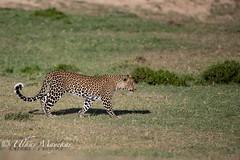 Leopard (mayekarulhas) Tags: narok riftvalleyprovince kenya ke leopard canon canon500mm canon1dxmark2 carnivores cats masaimara safari wildlife wild