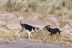 well, do it like this!! (RCB4J) Tags: ayrshire ayrshirecoast clydecoast firthofclyde irvinebeach rcb4j ronniebarron scotland sony18250mmf3563dtaf sonyslta77v art dogwalkingphotography dogs fun nature photography running sonyalpha wildlife