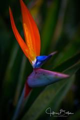 Garden Shots-4161 (Jeffrey Balfus (thx for 4 Million views)) Tags: sonya9mirrorless sonyalpha sonyilce9 fullframe 90mmf28macrogossprimelensmacro sel90m28g flowersplants