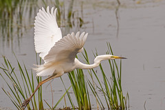 DSC2636  Great White Egret... (Jeff Lack Wildlife&Nature) Tags: greatwhiteegret egret egrets birds avian animal animals wildlife wildbirds wetlands waterbirds waders waterways wildlifephotography jefflackphotography lakes ponds scrapes estuaries estuary reservoirs countryside nature