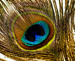 Day 49. (lizzieisdizzy) Tags: peacockfeather tabletop train tail quill malepeacock irridescentcolourisation plumage eyespots usedincourtship eyepattern closeknitbarbs narrowstem loosebarbs plumule colourful bright attractive decoration decorative