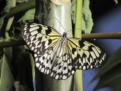 Paper Kite Butterfly At Magic Wings (amyboemig) Tags: butterfly insect magicwings conservatory greenhouse ma yellow black paperkite largetreenymph