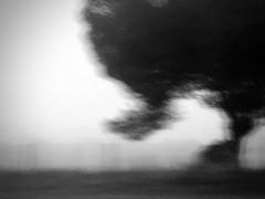 Mistic pine tree...