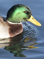 Mallard Duck (MJ Harbey) Tags: bird duck mallard malemallard waterfowl reflections animalia aves anseriformes anatidae willenlake miltonkeynes buckinghamshire water lake nikon d3300 nikond3300