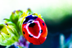 coccinelle 1 (joel.queyrel) Tags: coccinelle ladybird