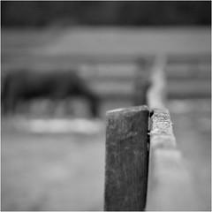 Garrison Forest ~ paddock bokeh (karma (Karen)) Tags: garrisonforest owingsmills maryland horses paddock fences dof bokeh mono bw hmbt hbw hff topf25 minimester19 cmwd
