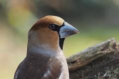 hawfinch (alfred.reinartz) Tags: coccothraustes vogel singvogel kernbeisser hawfinch