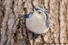 Chubby Chickadee (Claude Tomaro) Tags: chickadee bird jackpine trail claude tomaro winter ottawa canada