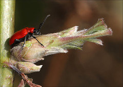 Lily  Beetle (DebbieH82) Tags: 200319messingham canon5dmkiv 100mmmacrolens lily beetle