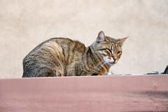 Empordà_0095 (Joanbrebo) Tags: castellódempúries girona españa canoneos70d eosd efs18135mmf3556is autofocus gat gato cat chat animals animales lempordà