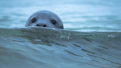 Hello.... (Sue MacCallum-Stewart) Tags: seals seal shetland nature wildlife scotland portrait animal