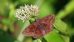 Horace's Duskywing (Kaptured by Kala) Tags: skipper butterfly bug insect whiterocklake dallastexas maleskipper daleacandida whiteprairieclover wildflower texaswildflower nativewildflower clover whiteclover prairieclover sunsetbay closeup reinhartbranch newspeciesforme horacesduskywing malehoracesduskywing duskywing maleduskywing hodges3952 erynnishoratius pollinator pollinators pollinate feeding eating wingsopen