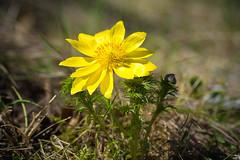 88/365 (misa_metz) Tags: nikon nature naturephotography photo photography yellow colors color flower flowers tokina spring outdoor plant macro hérics adonisvernalis lights