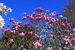 Spring Blossom (zeity121) Tags: sheffield yorkshire botanicalgardens flower blossom spring bluesky