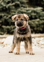 2019-03-02, Mel x Dezi Pink Female-1 (Falon167) Tags: gsd germanshepherddog german shepherd dog puppy mel dezi melxdezi litter bessie puppies