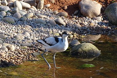 Avocet (Wildlife Terry) Tags: martin mere wildlife wetlands trust domestic escapee ornamental wildfowl waterbirds ducks geese swans lancashire northwestengland