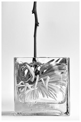 Immersive Art (peterscott12) Tags: flower mum cut stem vase glass water petals bw black white monochromatic immersed plunge dip
