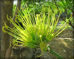 Strange Flower - Taken In India .. ID ? (Mary Faith.) Tags: unusual strange flower head yellow gold lime stamen india