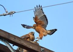 Red shouldered hawk food transfer (charlescpan) Tags: