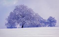 Givré (jlcphoto65) Tags: tree arbre hiver gel givre snow
