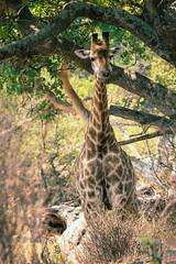 Chew Chew Chew (thisbrokenwheel) Tags: africa lowersabie safari mammal sabieriver wildernesspreserve krugerpark wildlifephotography wildlife travel nature southafrica giraffe knp conservation sanparks reticulatedgiraffe