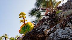 Aeonium (Alta Alteo) Tags: dickblattgewächs crassulaceae aeonium lapalma kanaren spanien wandern wegesrand blüte blühen wasserspeicher felsen aeonieae sempervivoideae dickblattgewächse saxifragales steinbrechartige