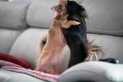 Chihuahua Battle (Arnez_) Tags: dogs pets chihuahua sony gm 85 animals portrait