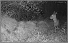 Roe Deer 1 03120161 (dark-dave) Tags: deer roedeer wildlife bushnell cameratrap