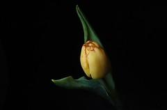 365 - Image 075 - Tulip... (Gary Neville) Tags: 365 365images 6th365 photoaday 2019 sony sonycybershotrx100vi rx100vi vi garyneville