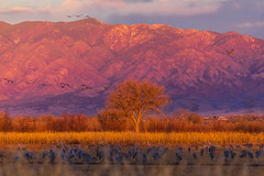 Bosque del Apache (stevencoffin1) Tags: birds sandhillcrane animals newmexico usa places bernardo bosque unitedstatesofamerica us