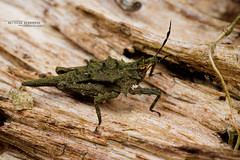 Tetrix sp. (Matthieu Berroneau) Tags: insect insecte borneo sabah malaysia malaisie sauterelle grasshopper sony alpha ff 24x36 macro nature wildlife animal fe 90 f28 g oss fe90f28macrogoss sonya7iii sonya7mk3 sonyalpha7mark3 sonyalpha7iii a7iii 7iii 7mk3 sonyilce7m3 sonyfesonyfe2890macrogoss objectifsony90mmf28macrofe sel90m28g tetrix orthoptère orthoptera criquet