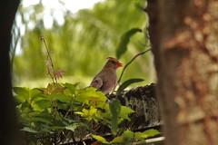 Female Cardinal (blackhawkwjp) Tags: avian wildlife cardinal femalecardinal