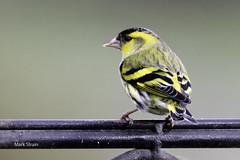 siskin-4903 (Mark Strain.) Tags: siskin bird wildlife wildbirds wildbird animal animals aves markstrain