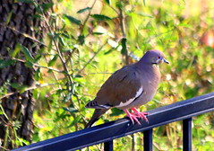 Whitewing dove (austexican718) Tags: texas native fauna centraltexas hillcountry backyard bird nature wildlife spring canon eos70d ef70300mm456isusm