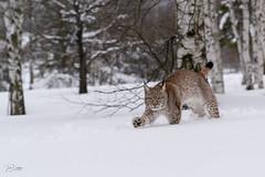 Lynx lynx (JirikD) Tags: 2019 nikond850 lynx rys savci mammals animal zima winter bigcat cub les nature sníh snow šelmy tamronsp7020028g2 forest zvířata příroda mládě zvíře