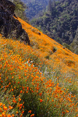 Hillside of Poppies (Jeff Sullivan (www.JeffSullivanPhotography.com)) Tags: wildflowers poppies yosemite national park village el portal california united states usa landscape nature travel photography canon 5dmarkiii photo copyright april 2014 jeff sullivan spring