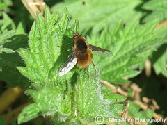 First beefly of the spring! Signs things are warming up (nina1688) Tags: