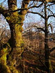 Oaks (Quercus sp.), Glasdrum National Nature Reserve (Niall Corbet) Tags: scotland argyll glasdrum nationalnaturereserve nnr oak quercus woodland