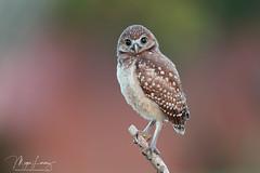 Huh? (Megan Lorenz) Tags: burrowingowl owl owlet bird avian birdofprey nature wildlife wild wildanimals florida mlorenz meganlorenz