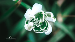 Galanthus nivalis (einhundertstel.eu) Tags: galanthus nivalis flower spring green white macro blossom outdoor nature outside snowdrop amaryllidaceae