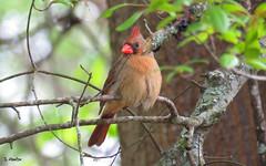 Fluffy Cardinal (Suzanham) Tags: femalecardinal bird songbird cardinal nature wildlife mississippi tree branch